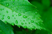 Droplets on leaf - shallow focus — Stock Photo