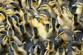 Little ducklings, shallow focus — Stock Photo