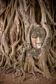 Buddha's head in banyan tree roots — Stock Photo