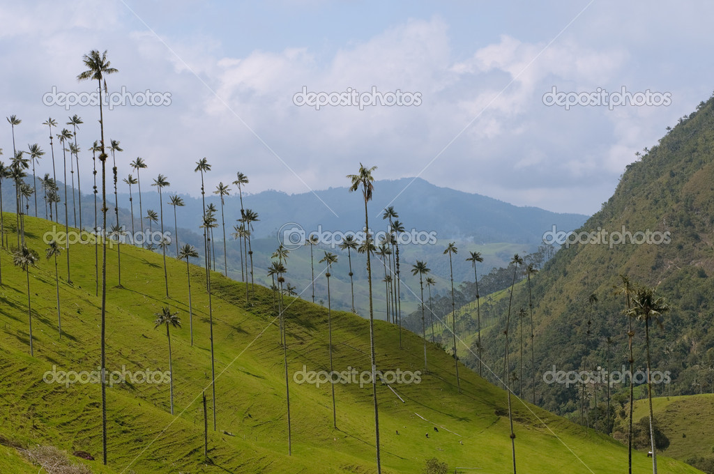 Vax palm trees of Cocora Valley, colombia — Stock Photo #9525499