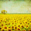 Vintage image of sunflower field — Stock Photo #9556658