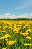 Dandelion field, shallow focus — Stock Photo