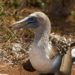 Blue-footed booby with nestling — Stock Photo