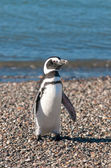 Magellanic penguin — Foto Stock