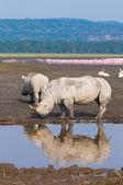 Rhinos in lake nakuru national park, kenya — Stock Photo