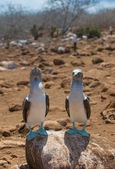 Blue-footed boobies — Stock Photo