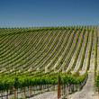 Stock Photo: Vineyards of napvalley, usa