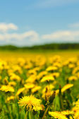 Dandelion field, shallow focus — Stock Photo