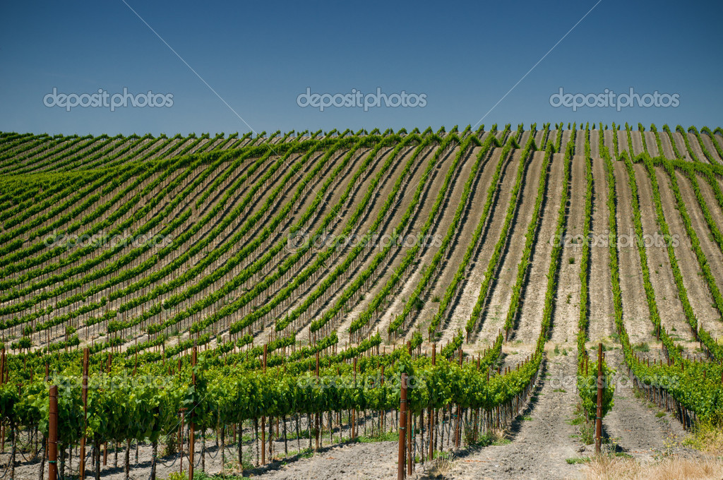 Vineyards of napa valley, usa  Stock Photo #9606002