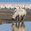 Rhino in lake nakuru national park, kenya — Stock Photo