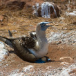 Blue-footed booby on eggs — Stock Photo