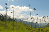 Vax palm trees of Cocora Valley, colombia — Stock Photo