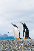 Gentoo penguins — Foto Stock