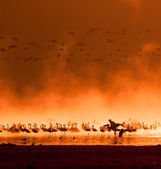 Flocks of flamingos in the sunrise — Stock Photo
