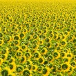 Sunflower field, Provence, France, shallow focus — Stock Photo #9979994