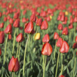 Tulip field - shallow focus — Stock Photo