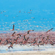 Flocks of flamingo — Stock Photo