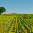 Vineyards in bordeaux — Stock Photo #9983462