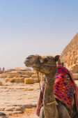 Camel next to pyramid in Giza, Cairo — Stock Photo