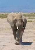 Elephant calf, amboseli national park, kenya — Stock Photo