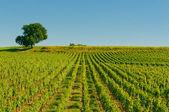 Vineyards in bordeaux — Stock Photo