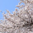 Cherry (sakura) blossom — Stock Photo #9327279