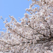 Stock Photo: Cherry (sakura) blossom