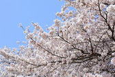 Cherry (sakura) blossom — Stock Photo