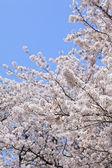 Cherry (sakura) blossom — Stock Photo
