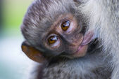 Baby Vervet Monkey — Stock Photo