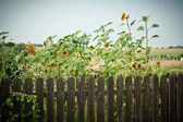 Sunflowers by the fence — Stock Photo