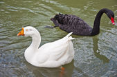 The black Swan and white goose — Stock Photo