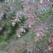 Waterdrops on firtree — Stock Photo