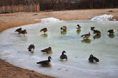Duck in spring pond — Foto de Stock