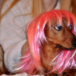 Beautiful dog in wig — Stock Photo