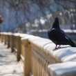 Pigeon walks — Stock Photo