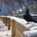 Pigeon walks — Stock Photo
