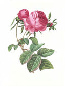 Flower antique illustration rose — Stock Photo