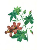 Flower antique illustration hibiscus — Stock Photo