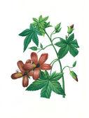 Flower antique illustration hibiscus — Stockfoto