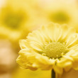 Stock Photo: Beautiful spring chrysanthemum flowers on yellow background