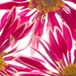 Stock Photo: Beautiful spring chrysanthemum flowers