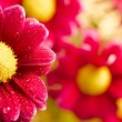 Stock Photo: Beautiful dewy chrysanthemum flowers on yellow background
