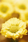 Beautiful spring chrysanthemum flowers on yellow background — Stock Photo