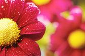 Beautiful dewy chrysanthemum flowers — Stock Photo