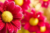 Beautiful dewy chrysanthemum flowers on yellow background — Stock Photo