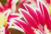 Beautiful spring chrysanthemum flowers — Stock Photo