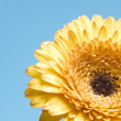 Yellow gerbera flower on blue background — Stock Photo