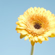 Stock Photo: Yellow gerberflower on blue background