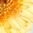 Yellow gerbera flower on blue background - Stock Photo